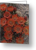 "\""guadalupe National Park\\\"" Greeting Cards - Claret Cup Cactus Flowers Greeting Card by Michael Melford"