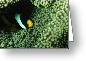 Clown Fish Greeting Cards - Clarks Anemonefish, Amphiprion Clarkii Greeting Card by James Forte