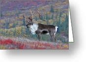 Game Animals Photo Greeting Cards - Classic Caribou Greeting Card by Alan Lenk