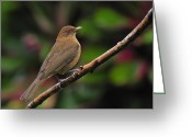 National Bird Greeting Cards - Clay-coloured Robin Greeting Card by Tony Beck