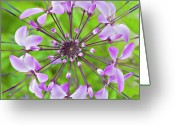 Spider Flower Greeting Cards - Cleome Hassleriana  Flower Greeting Card by Jacky Parker Photography