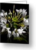 Spider Flower Greeting Cards - Cleome in Bloom Greeting Card by Wenata Babkowski