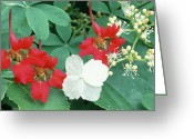 Hydrangea Petiolaris Greeting Cards - Climbing Plants Greeting Card by Archie Young