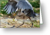 Blue Heron Photo Greeting Cards - Cloak And Dagger Greeting Card by Fraida Gutovich
