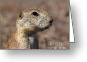 Prairie Dog Greeting Cards - Close On Prairie Dog Greeting Card by Robert Frederick