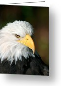 Contact Greeting Cards - Close Portrait Of A Bald Eagle Greeting Card by Ralph Lee Hopkins