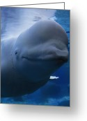 Beluga Greeting Cards - Close Portrait Of A Beluga Whale Greeting Card by Paul Sutherland