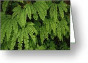 Olympic National Park Greeting Cards - Close Up Detail Of A Fern Fronds Greeting Card by Melissa Farlow