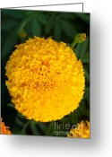 Vibrant Photo Greeting Cards - Close-up Marigold Greeting Card by Atiketta Sangasaeng