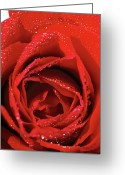 Single Rose Greeting Cards - Close-up Of A Red Rose Greeting Card by Stockbyte