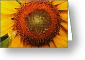 Ellicott Greeting Cards - Close Up Of A Sunflower Showing Greeting Card by George Grall