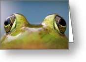 Head Of State Greeting Cards - Close-up Of American Bullfrog Eyes Greeting Card by Nick Harris Photography