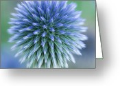 Thistle Greeting Cards - Close Up Of Blue Globe Thistle Greeting Card by Kim Haddon Photography