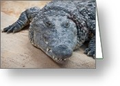 Teeth Greeting Cards - Close Up Of Crocodile, Spain Greeting Card by Julio Codesal