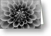 Dahlia Greeting Cards - Close Up Of Dahlia Flower Greeting Card by Tom Podesta