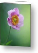 Anemone  Greeting Cards - Close-up Of Japanese Anemone Greeting Card by Elisabeth Schmitt