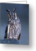 Long Eared Owl Greeting Cards - Close Up Of Owl Greeting Card by Daniela Duncan