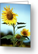Growth Greeting Cards - Close Up Of Sunflowers Greeting Card by Philippe Doucet