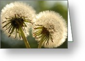 Image Type Photo Greeting Cards - Close Up Of Two Dandelions Taraxacum Sp Greeting Card by Darlyne A. Murawski