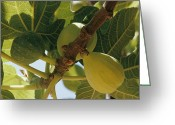 Animal Life Cycles Greeting Cards - Close-up Of Two Large Figs Hanging Greeting Card by Robert Sisson