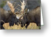 Horns Greeting Cards - Close-up Of Two Moose Locking Horns Greeting Card by Roy Toft