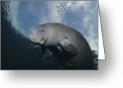 Rare Photography Greeting Cards - Close View Of A Florida Manatee Greeting Card by Brian J. Skerry