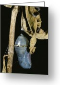 Cocoons Greeting Cards - Close View Of A Monarch Chrysalis Greeting Card by Stephen Sharnoff