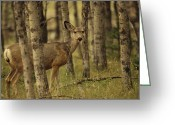 Cypress Hills Provincial Park Greeting Cards - Close View Of A Mule Deer In An Alberta Greeting Card by Raymond Gehman