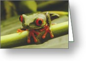 Red-eyed Frogs Greeting Cards - Close view of a red-eyed Greeting Card by Steve Winter
