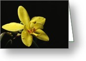 Madre Greeting Cards - Close View Of A Spathoglottis Orchid Greeting Card by Tim Laman