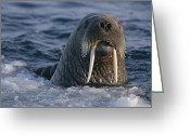 Walruses Greeting Cards - Close View Of A Surfacing Female Greeting Card by Paul Nicklen