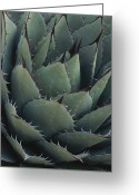 "\""guadalupe National Park\\\"" Greeting Cards - Close View Of An Agave Plant Greeting Card by Michael Melford"