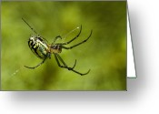Close Views Greeting Cards - Close View Of Cobweb Weaver Spider Greeting Card by Todd Gipstein