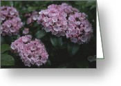 Mountain Laurel Greeting Cards - Close View Of Flowering Mountain Laurel Greeting Card by Darlyne A. Murawski