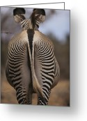 Game Animals Photo Greeting Cards - Close View Of Rear End Pattern Greeting Card by Mark C. Ross
