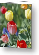 Spring Scenes Greeting Cards - Close View Of Spring Tulips In Bloom Greeting Card by Darlyne A. Murawski