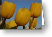 Close Views Greeting Cards - Close View Of Yellow Tulips Greeting Card by Stacy Gold