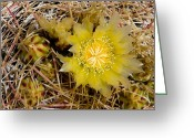 State Flowers Greeting Cards - Closeup Of A Barrel Cactus In Bloom Greeting Card by Tim Laman