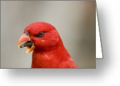 Captive Animals Greeting Cards - Closeup Of A Captive Moluccan Red Lory Greeting Card by Tim Laman