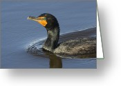 Phalacrocorax Auritus Greeting Cards - Closeup Of A Double-crested Cormorant Greeting Card by Tim Laman