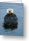 Contact Greeting Cards - Closeup Of A Sea Otter Enhydra Lutris Greeting Card by Rich Reid