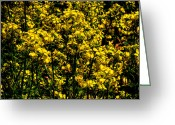 Rapeseed Greeting Cards - Closeup of Canola Greeting Card by David Patterson