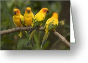 Captive Animals Greeting Cards - Closeup Of Four Captive Sun Parakeets Greeting Card by Tim Laman