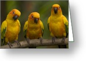 Captive Animals Greeting Cards - Closeup Of Three Captive Sun Parakeets Greeting Card by Tim Laman