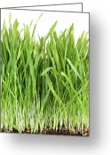 Recycling Photo Greeting Cards - Closeup of wheatgrass on white Greeting Card by Sandra Cunningham