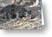 Leopards Greeting Cards - Clouded Leopard Cub Greeting Card by Jan Amiss Photography