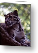 Leopards Greeting Cards - Clouded Leopard  Greeting Card by Jan Amiss Photography