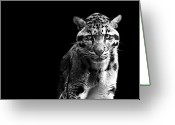 Black Leopard Greeting Cards - Clouded Leopard Greeting Card by Malcolm MacGregor