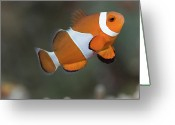 Side View  Greeting Cards - Clown Anemonefish (amphiprion Ocellaris) Greeting Card by Steven Trainoff Ph.D.