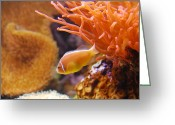 Clown Fish Greeting Cards - Clown Fish Greeting Card by Anthony Citro